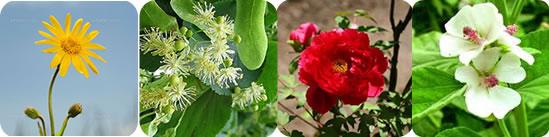 敏感肌用配合植物