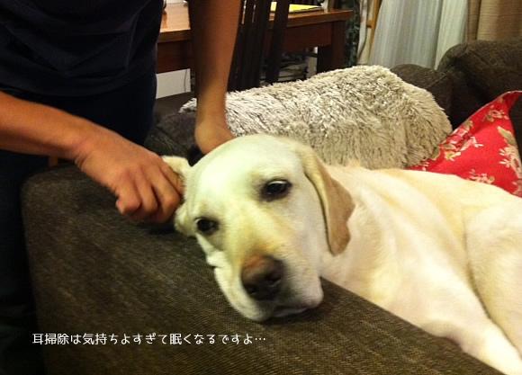 看板犬の耳掃除